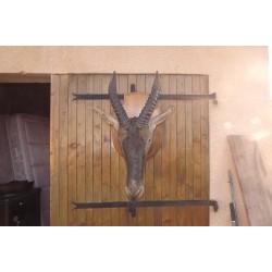 Tète d'Antilope Bubale